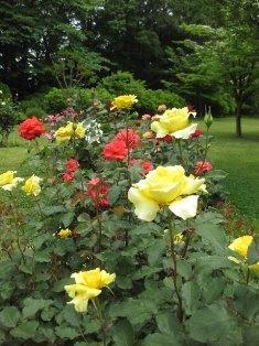 薔薇 033