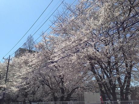 円阿弥桜2014