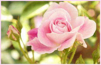 rose140516-1.jpg