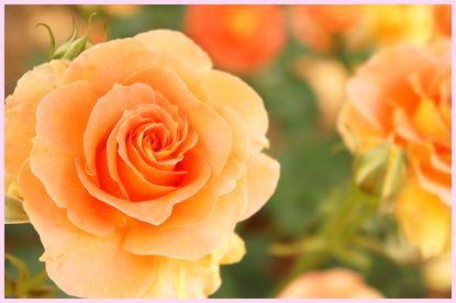 rose140516-3.jpg