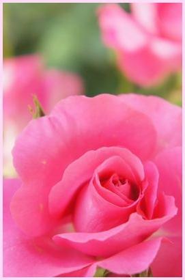 rose140517.jpg