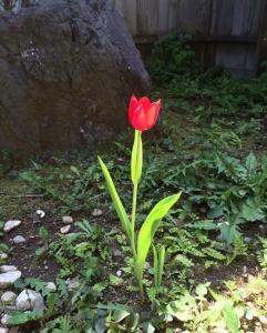 tulip0104121.jpg
