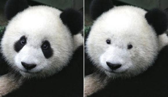 目の周りの黒を白くしたパンダ