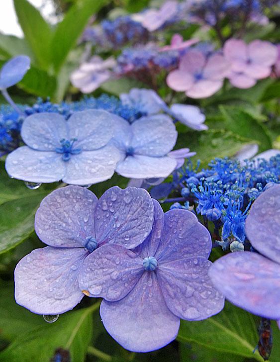 140624雨粒纏う花たち1