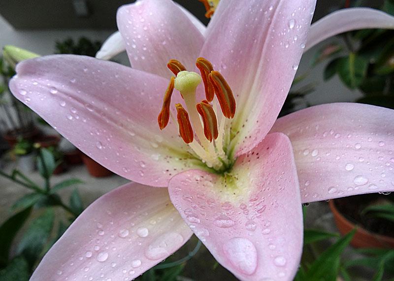 140624雨粒纏う花たち3