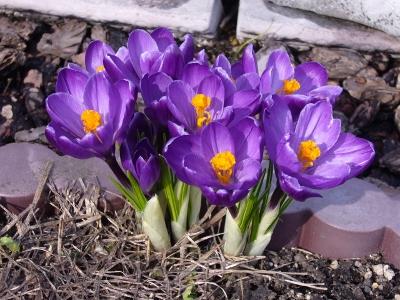 大輪クロッカス・紫
