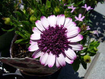 八重咲きオスペ・タブルベリーホワイト
