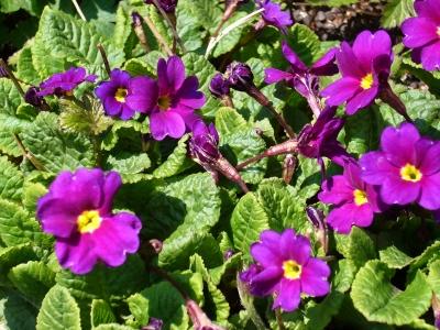 プリムラ・2段咲き