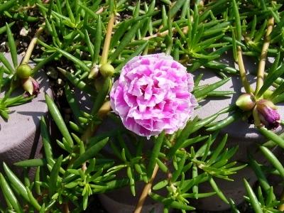 バラ咲きマツバ