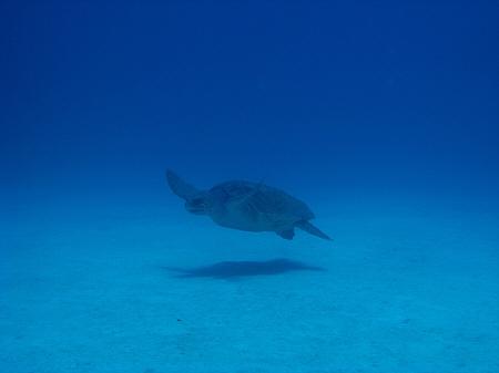 アカウミガメ (43)