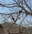 桜のつぼみ3月20日(450×338)