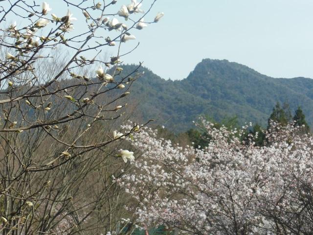 桜&コブシ(640)