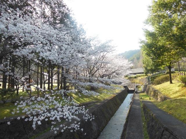 桜②(640)