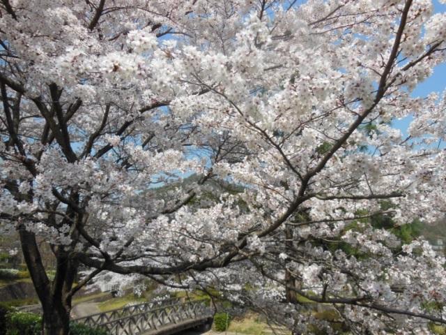 ソメイヨシノ(640)