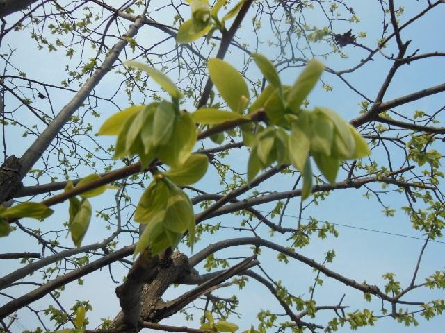 柿の芽(640)