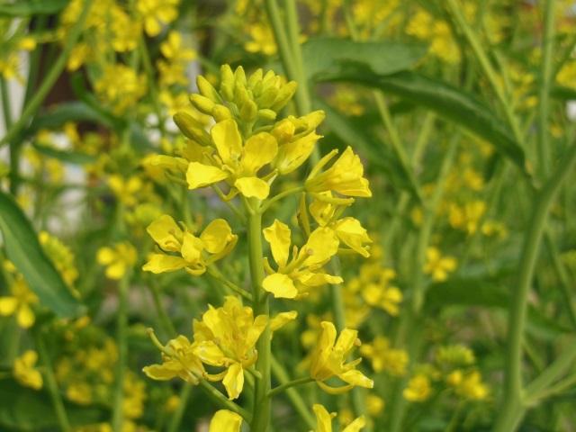 菜の花(640)