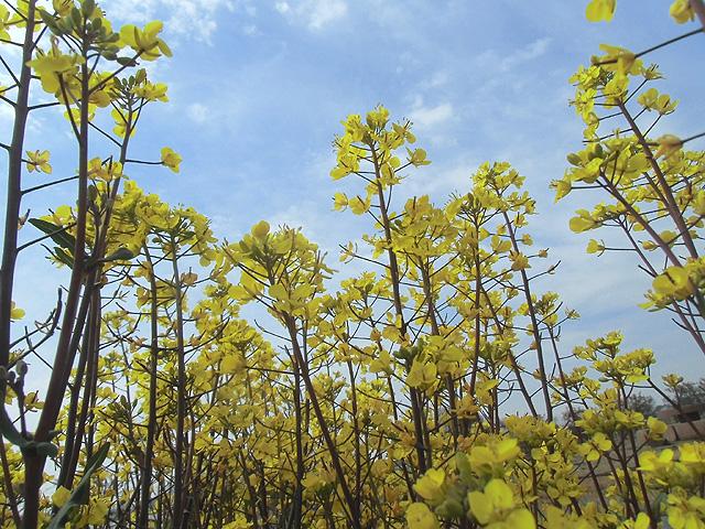 コウサイタイの花