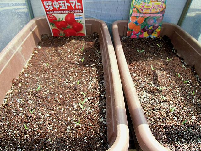 トマトの発芽