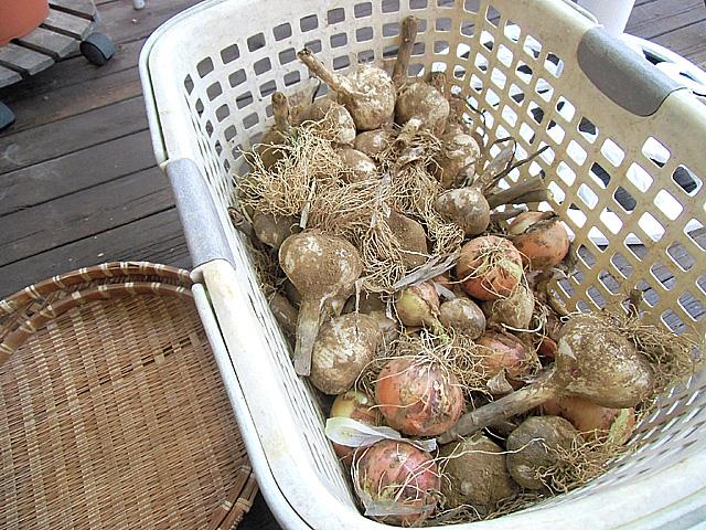 収穫してきたニンニクとタマネギ