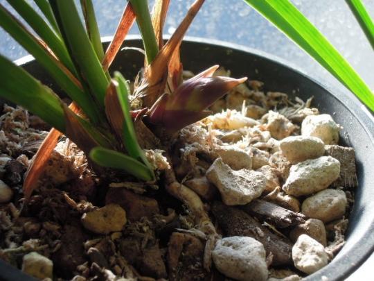 キンリョウヘン花芽の成長2603
