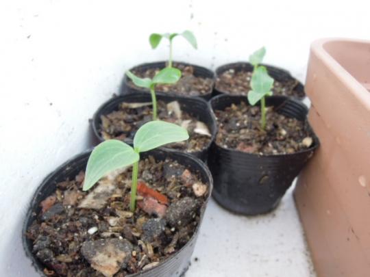聖護院節成胡瓜の発芽 H2603