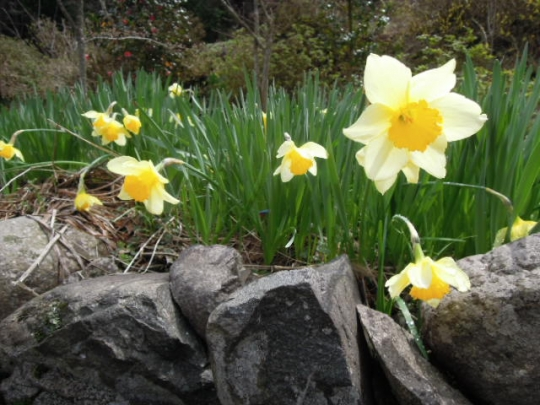 水仙の花 H2604