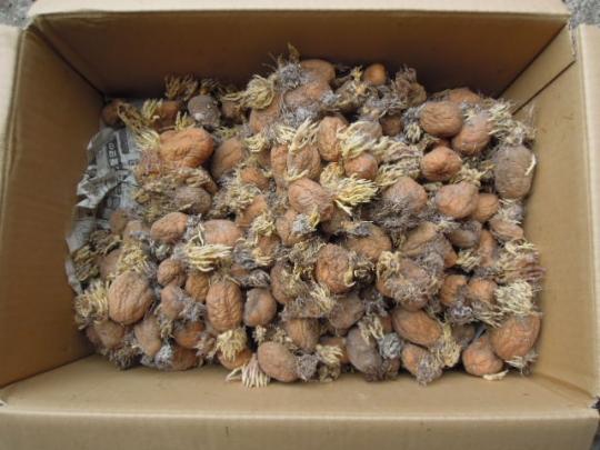 インカのめざめ 種芋 H26