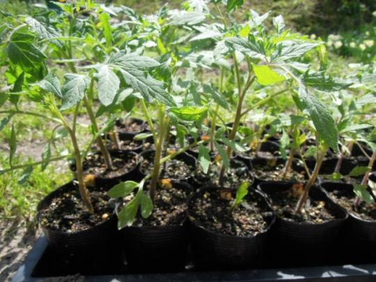 アロイトマトの成長・定植 H2604