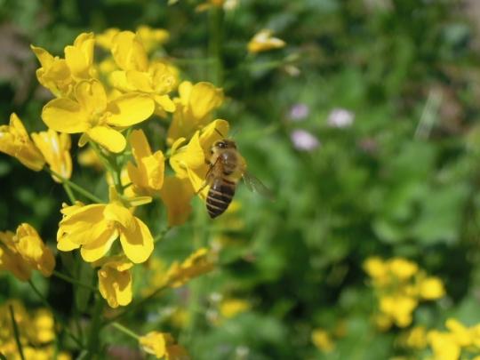 畑の日本蜜蜂1