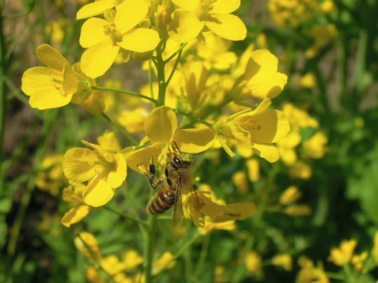畑の日本蜜蜂2