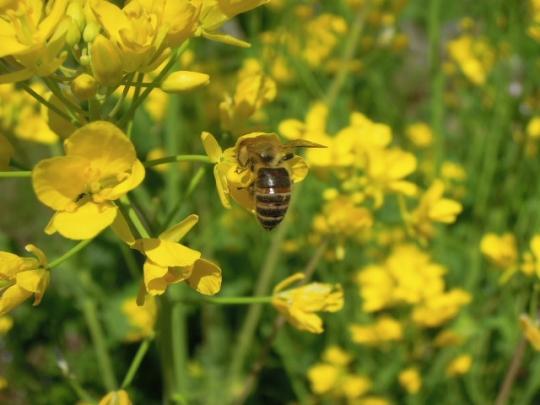 畑の日本蜜蜂3