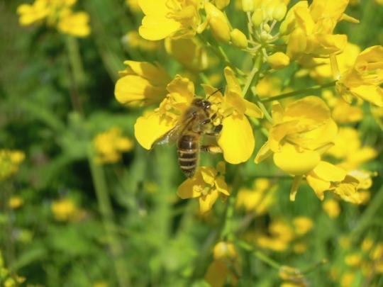 畑の日本蜜蜂4
