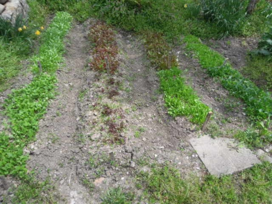 ベビーリーフの初収穫 H2604