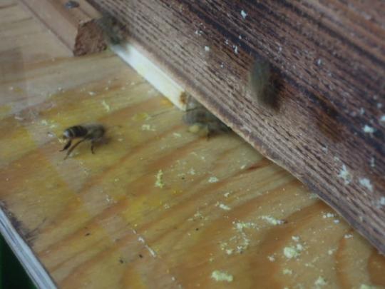 日本蜜蜂 花粉運び H2605
