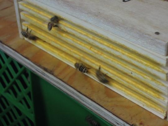 日本蜜蜂 女王逃亡措置 H2605