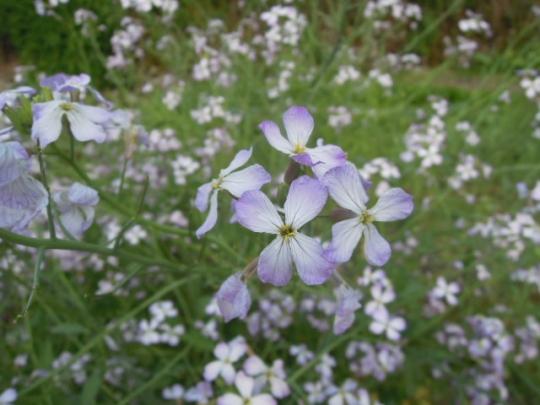 出雲おろち大根の花 H26