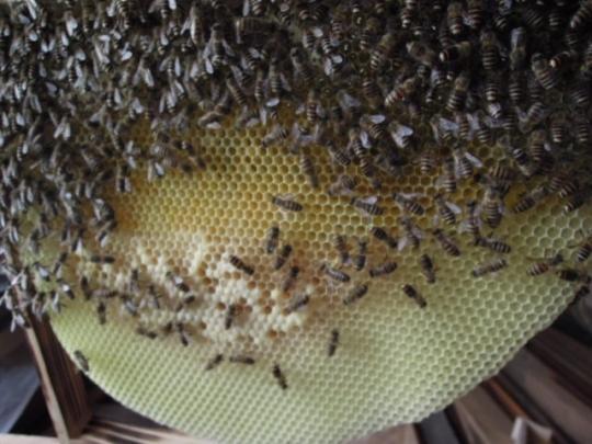 日本蜜蜂内検1 H2605