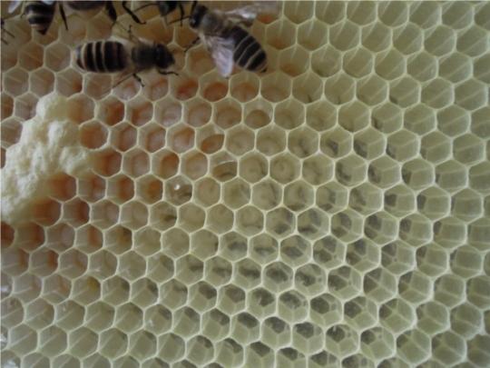 日本蜜蜂内検2 産卵確認済み H2605