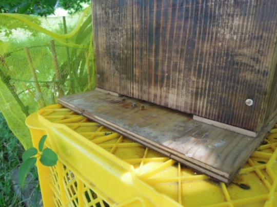 2群目日本蜜蜂GET H2605