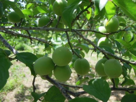 梅の収穫 H26