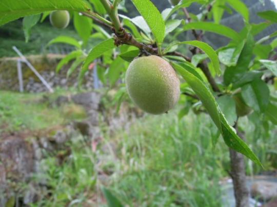 黄金桃の実 H26