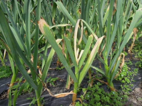 ニンニクの収穫 H260610