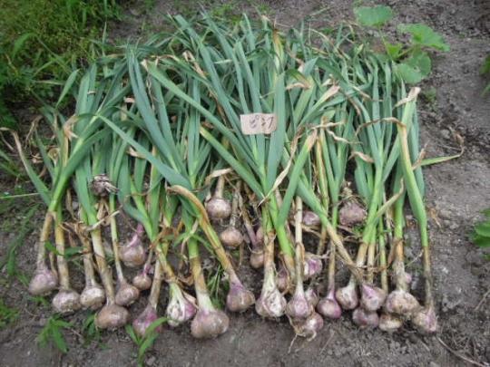 ・アイユローズ(フランスピンク大蒜)収穫 H2606