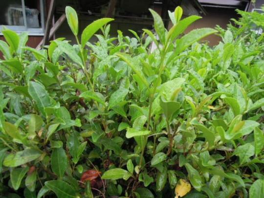 お茶の木の挿し木の実験 H2606