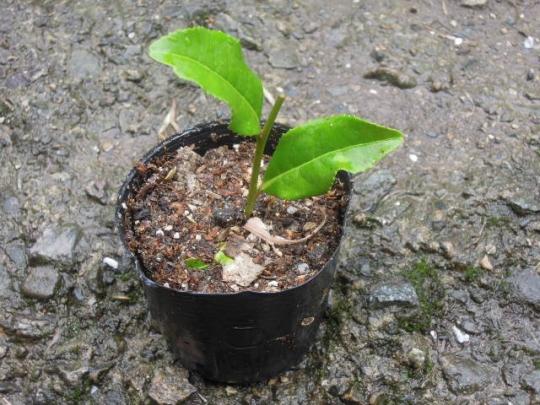 お茶の木の挿し木の実験4 H2606
