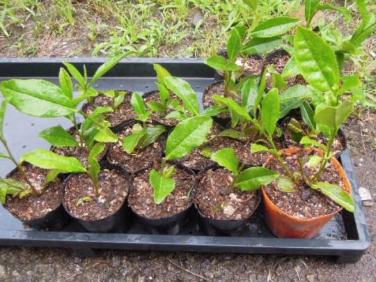 お茶の木の挿し木の実験5 H2606
