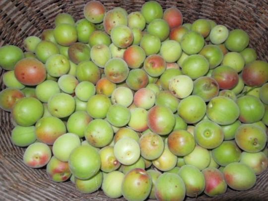 6月中旬の梅の収穫 H2606