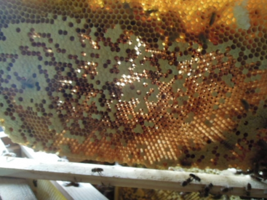 蜜蜂の巣 スカスカ H2607