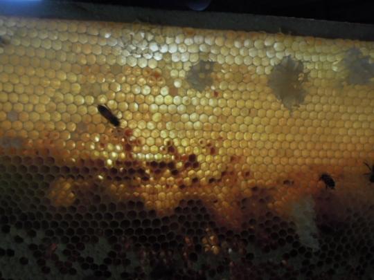 蜜蜂の巣 蜜を貯めてない H2607