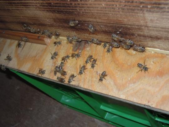 蜜蜂の勢い H2607